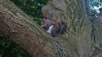 A Grey Squirrel