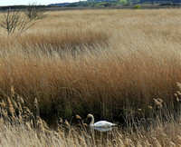 Swan in the Reeds